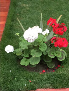Flores of miraflores. Geraniums?
