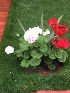Flores of miraflores. Geraniums?